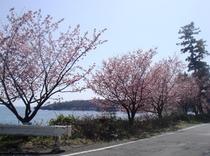 城ヶ崎の桜(横磯にあります)
