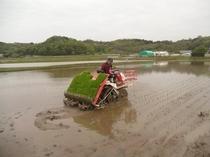 契約農家 伊藤さんの田植えの様子