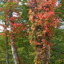 *秋の大沼/沼の周りに広がるブナ林が美しく色付きます!