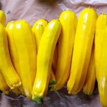 自社農園育ちの黄色いズッキーニ(グレイス農園)