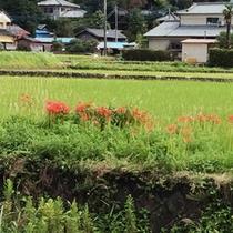 【彼岸花】一の瀬街道の田園に咲き乱れる彼岸花(2014年秋)