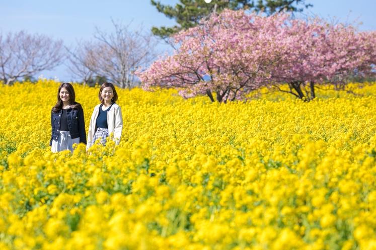 黄色い絨毯のように咲く菜の花とピンクの色が可憐な桜