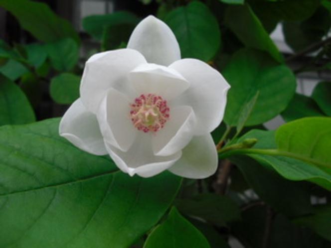 天女の花 オオヤマレンゲ