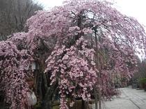 龍泉寺 しだれ桜