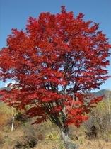 一の瀬大カエデの紅葉