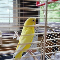 *【ペット】コクハの一員です。鮮やかな黄色の羽が特徴的なインコです。