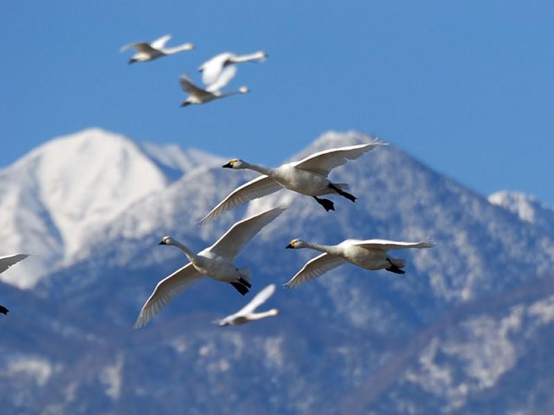 北アルプスと白鳥