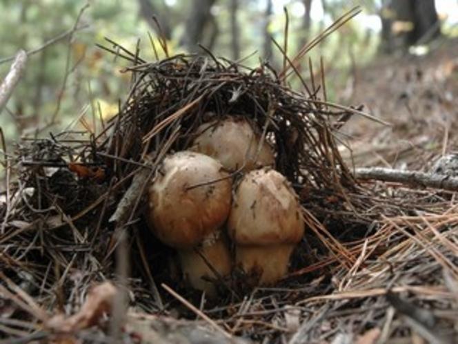キノコが採れる季節にはご夕食に松茸がでることもあります。