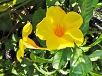【アリアケカズラ】ラッパのようなお花が特徴です