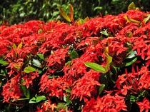 【サンダンカ】沖縄三大名花の一つです♪