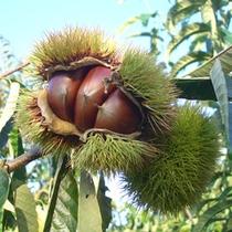山江村特産の「やまえ栗」。一般の栗より二回りほど大きく豊かな甘みが特長