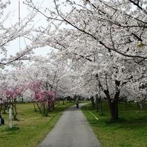 一本松公園の桜並木