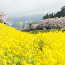 【春の湯布院】ペンションゆふいんの目の前にはキレイな菜の花が見える事も…