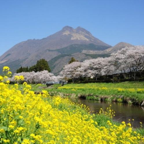 【春の湯布院】ペンションゆふいんの目の前にはキレイな菜の花と桜が見える事も…