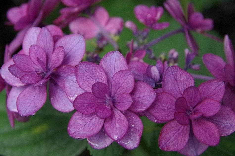 ★ 紫陽花