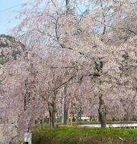 【春】鬼怒川公園の桜。鬼怒川エリアでは4月中旬〜下旬が見ごろです