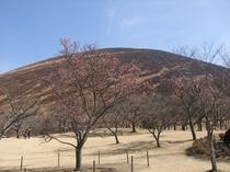 2月12日大室山の山焼きが無事行われました。(2月13日撮影)