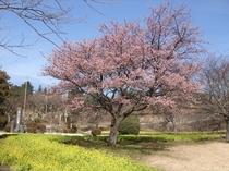 菜の花と寒桜で春めくさくらの里(2月23日撮影)