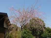 夢のやの 枝垂桜も 元気です(4月12日撮影)