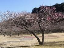 松川湖畔梅の広場 紅白咲き分けの樹※ 2月1日 撮影