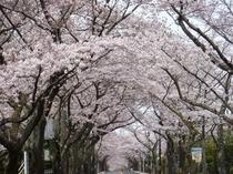 さくらいろ エールをおくる 応援花(4月7日撮影)