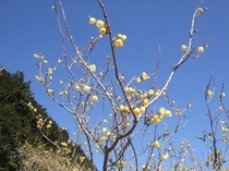 松川湖畔ロウバイ広場 黄色い花と甘い芳香(2月1日 撮影)