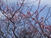 自生の桃の花  ひな祭りを祝う。 (3月3日撮影)