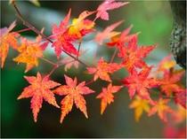【 周辺景観 】 浴室やお部屋から紅葉をご覧頂けます。