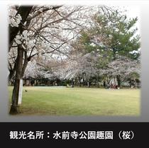 水前寺公園趣園の桜♪