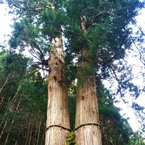 大悲山国有林にある花背の三本杉