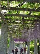 ふじの咲く丘公園の藤棚