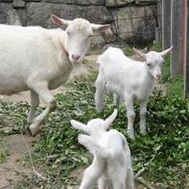 ヤギやウサギやエミューなどの動物たちとも触れあえます♪