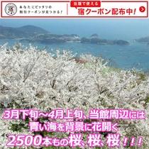3月下旬~4月上旬、当館周辺には、青い海を背景に花開く2500本もの桜、桜、桜!!!
