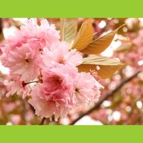 南会津の八重桜は4月下旬から5月上旬に見頃を迎えます