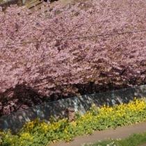 【春の風景】毎年の多くの人で賑わう「河津桜」と「菜の花」の季節。(2月)