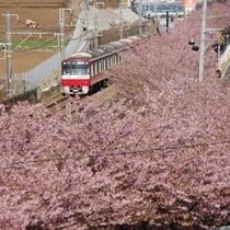 【春の風景】美しい河津桜の下を京急電車が走ります!観光が楽しい季節。(2月)