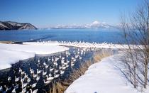 【冬】猪苗代湖 白鳥