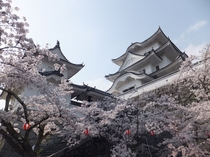 【春】二本松 霞ヶ城 桜