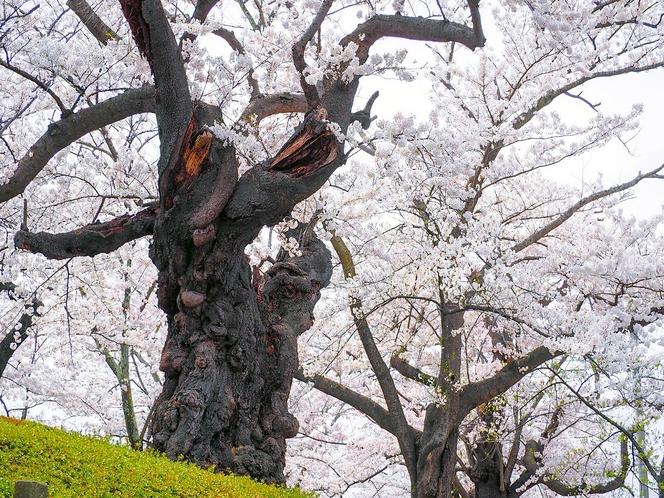 【春】開成山公園 日本最古級のソメイヨシノ