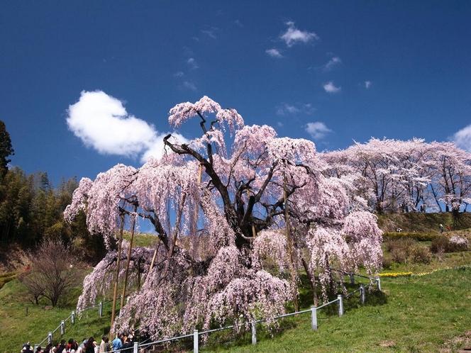 【春】三春桜・・・お花の滝見