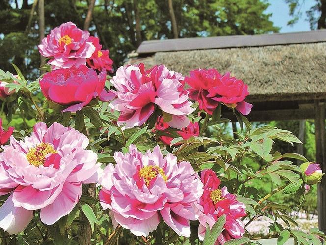 【春】須賀川牡丹園・・・例年、4月下旬から5月下旬が見頃です。