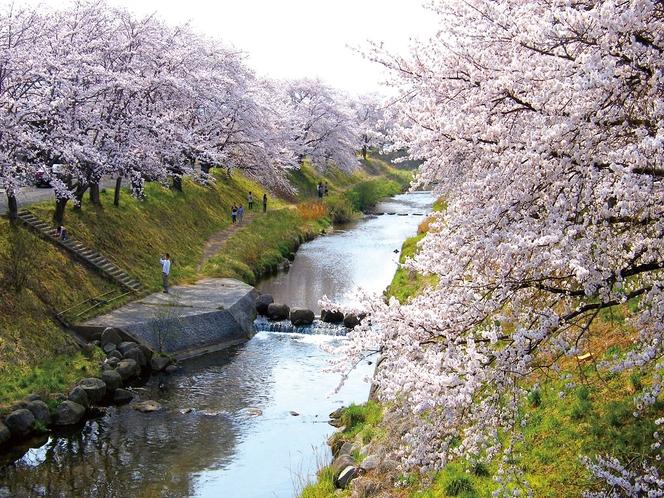 【春】藤田川ふれあい桜