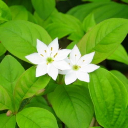 ツマトリソウの花言葉は『純真』