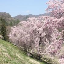 浅間酒造付近の桜