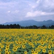 津南のひまわり畑