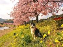 ワンちゃんとのんびり散策できるみなみの桜