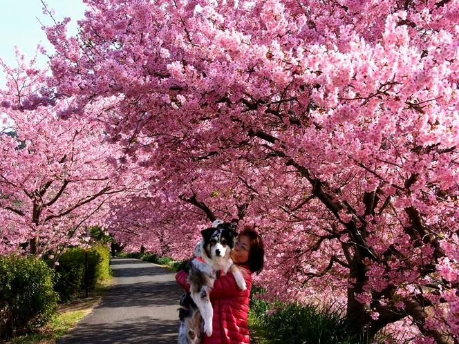 河津桜のトンネルみなみの桜まつり