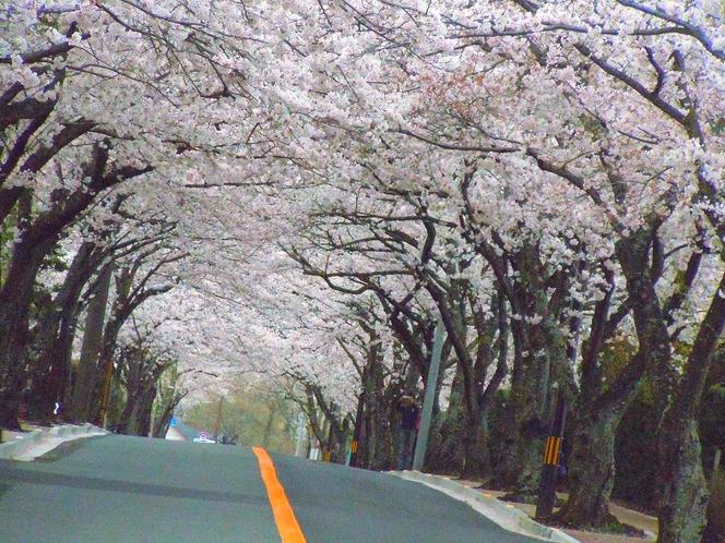 桜のトンネル伊豆高原桜並木(当館から車で5分)
