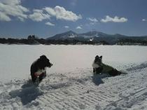 冬の桧原湖上、看板犬ボーダーコリー