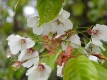 庭の春を告げる山桜5.15